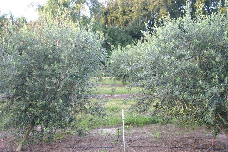 olive_grove_stepan_oliva_best_arbequina_olives_with_koroneiki___arbosana_pollinators_12-7-15