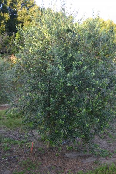 olive_grove_stepan_oliva_close-up_of_arbequina_olive_tree_in_the_grove_12-7-15