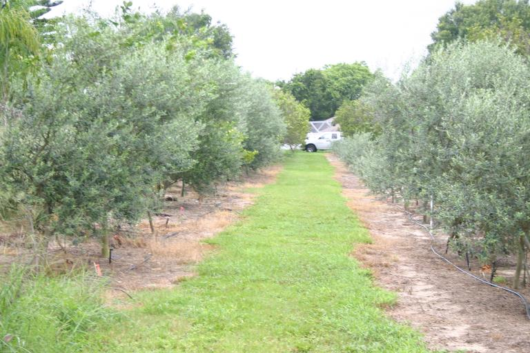 olive_grove_stepan_oliva_winter_haven__fl_converting_citrus_grove_to_arbequina_olive_grove_7-27-17