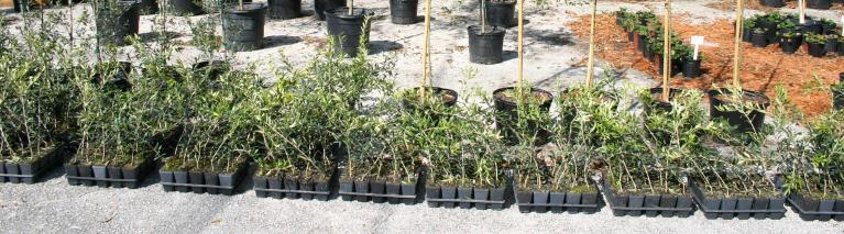 olive_liners_arbequina_olive_liners