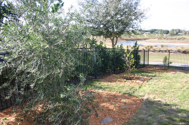 olive_tree_after_planting_12-18-12