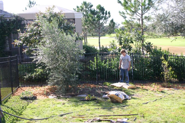 Olive ree being planted in Sorrento by Tom Talmage 12-18-12