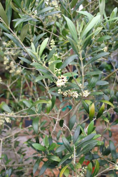 olive_tree_with_bloom_close-up_debary_march_16__2015