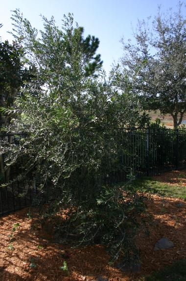 Olive tree close-up after planting 12-18-12