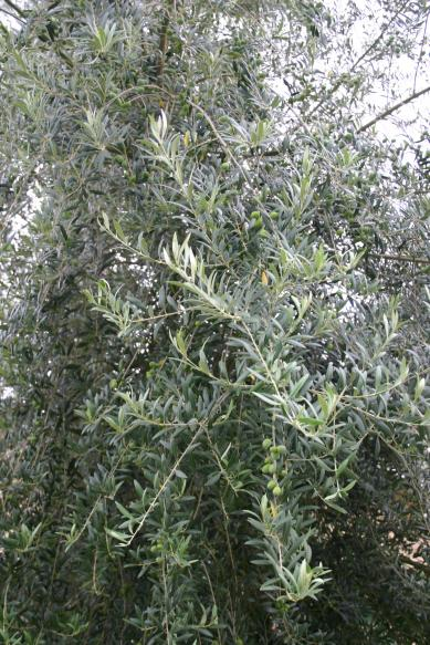 olive_tree_front_yard_with_olive_fruit_vertical_view_6-29-15