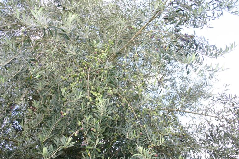 olive_tree_showing__lots_of_ripening_olives_b_8-13-15