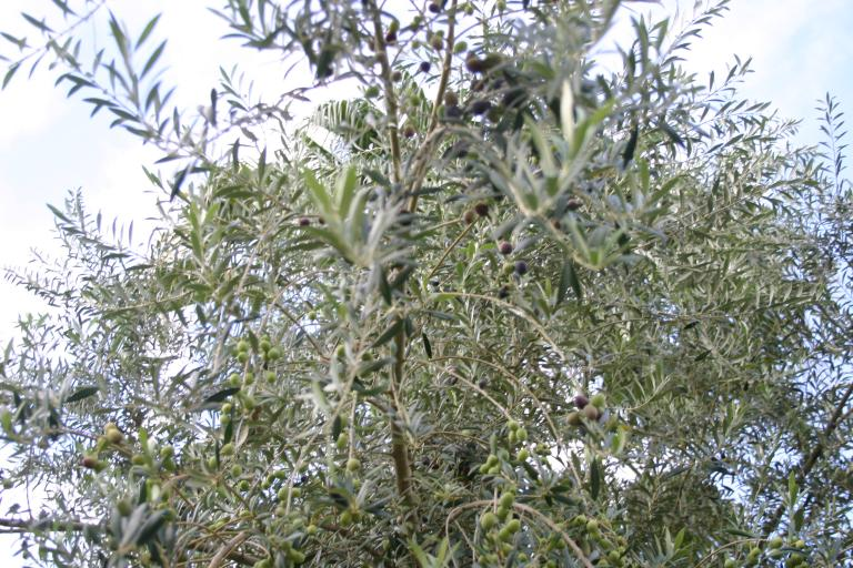 olive_tree_showing_lots_of_ripening_olives_a_8-13-15
