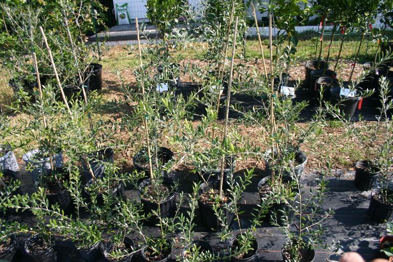 olive trees 11-24-12