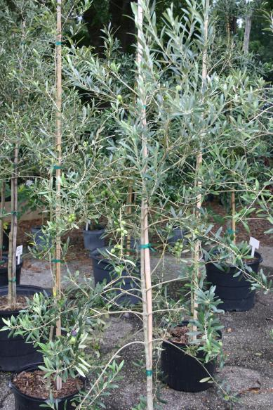 Olive Tree With Fruit At The Nursery 7 31 14