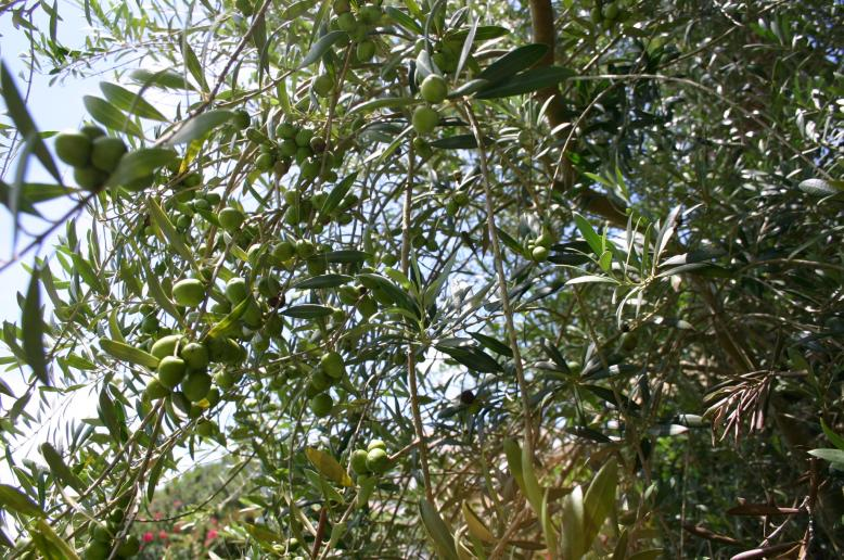 olives on tree in DeBary 7-4-13