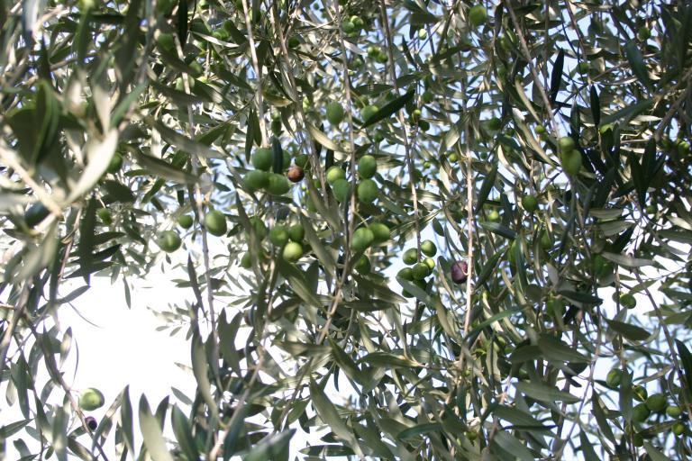 olives_starten_to_ripen_at_home_in_debary_7-23-1