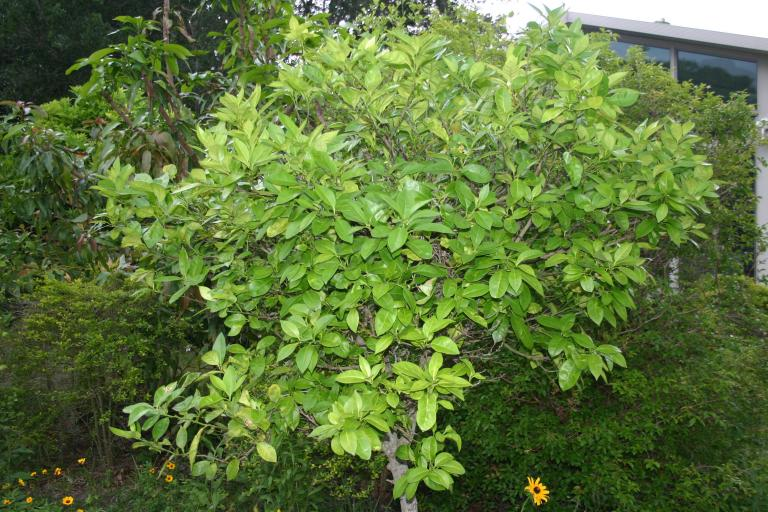 orange_tree_with_greening_2_treatments_in_2014_sprayed_with_citrathrive___agri-burst_4-19-15