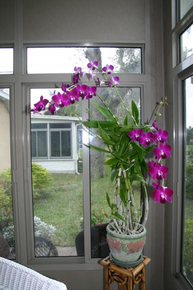 orchid_Phalaenopsis 3_blooms_& 3_new_bloom_spikes C 12-25-14