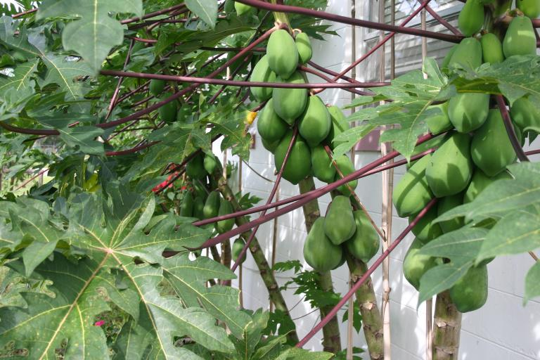 papaya_patch_in_front_of_store_11-14-15