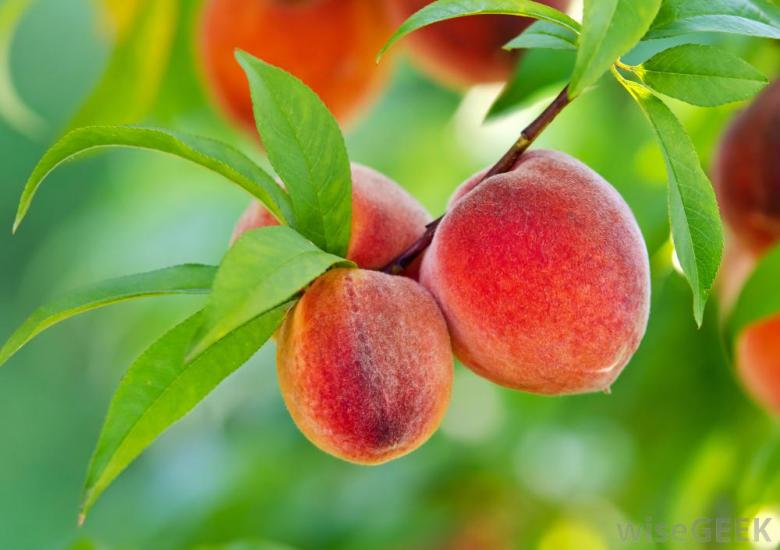 peach_tree_photo