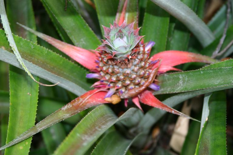 pineapple_blooming