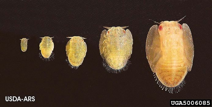 psyllid_5_instar_stages