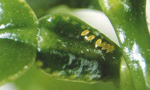 psyllid__asian_citrus_eggs_diaphorina_citr