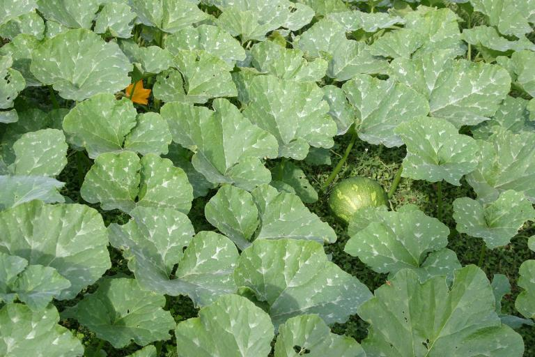 pumpkin_patch_squash___flower_11-14-15