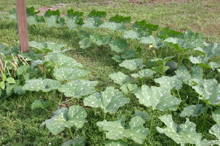 /pumpkin_patch_vining_toward_building_showing_squash_11-14-15