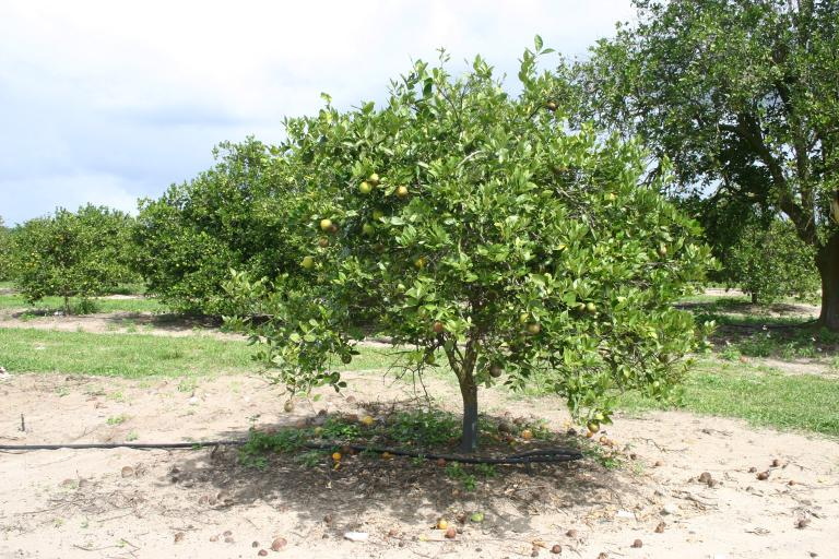 ron_kelly_grove_younger_orange_tree_cropped__after_treatments_10-21-15