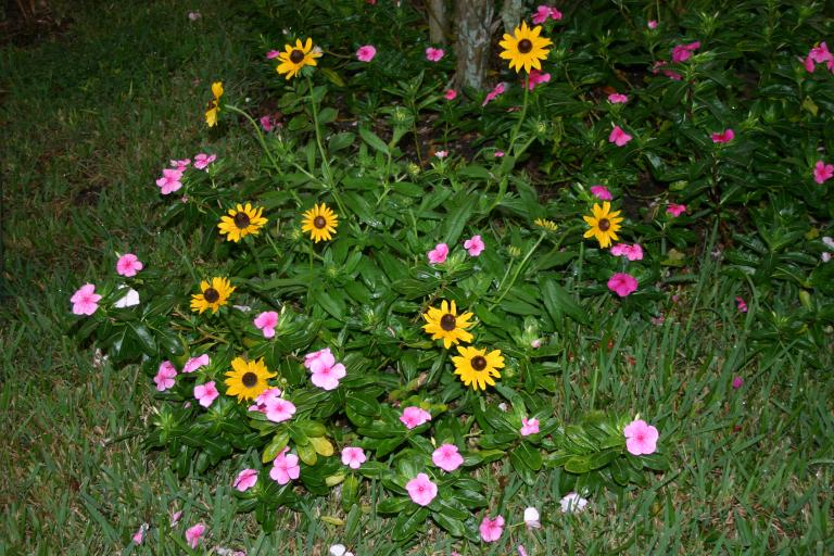 rudbeckia___vinca_in_landscape_oct_2015