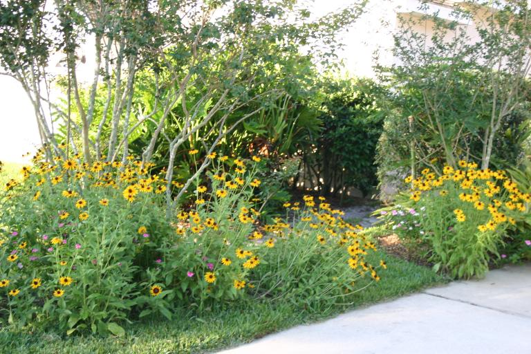 rudbeckia_in_the_landscape_5-8-16