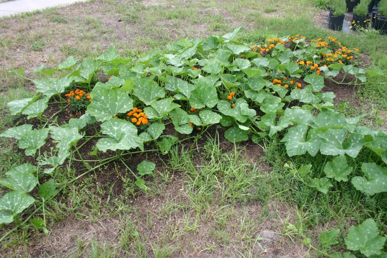 seminole_pumpkin_patch_in_marigolds__6-20-15