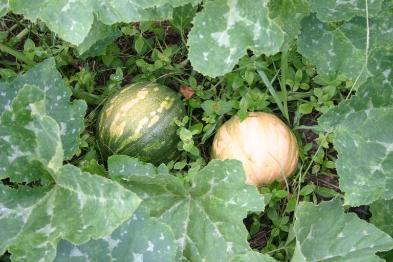 seminole_pumpkins_two_6-20-15