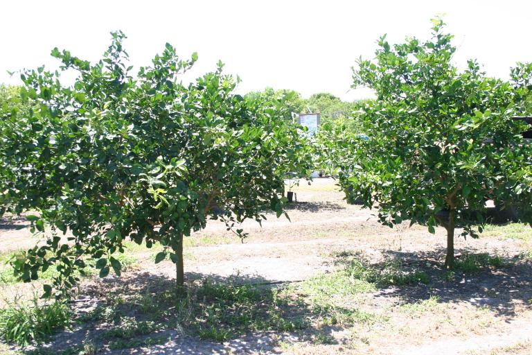 theo___cubberly_walker_orange_trees_with_good_recovery_on_5-18-15img