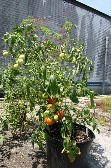 tomato in compost & 3-0-5 on 7-3-12