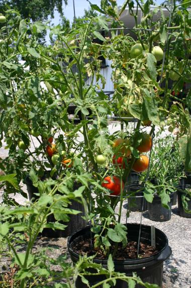 Tomato growing in potting soil & 3-0-5