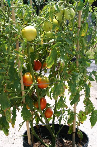 Tomato, potted  growing with 3-0-5 Fertizer on 7-3-12