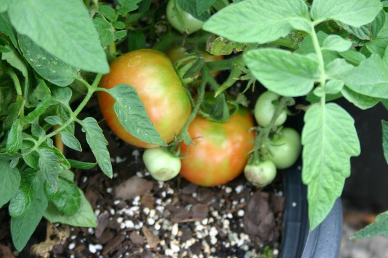 tomato_plants_with_ripening_tomatoes_in_nursery_containers