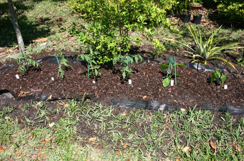 Tomatoes planted in Potting Soil 3-25-12