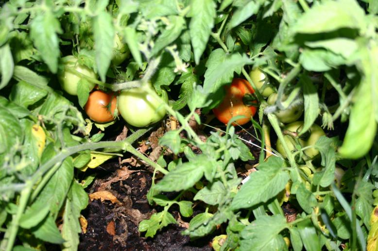 tomatoes ripening on May 23, 2012 59 days after planting
