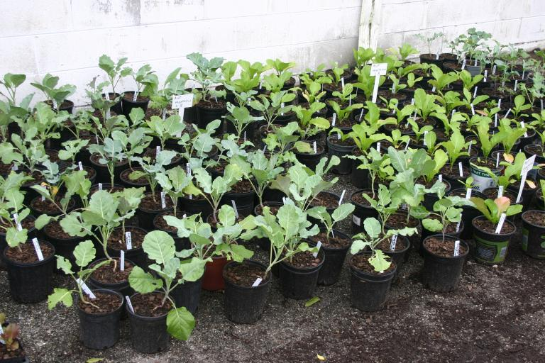 vegetables_in_gallon_pots_11-19-15