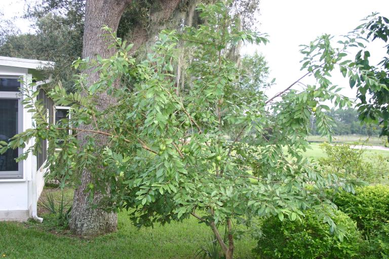 white_guava_in_back_entire_tree_with_fruit_9-9-15